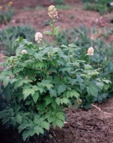 actaea-rubra-6-9-96-copy