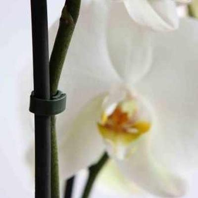 bato orchid peg