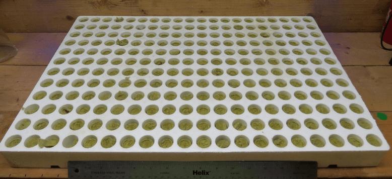 Grodan-kiem-plugs-in-french-trays