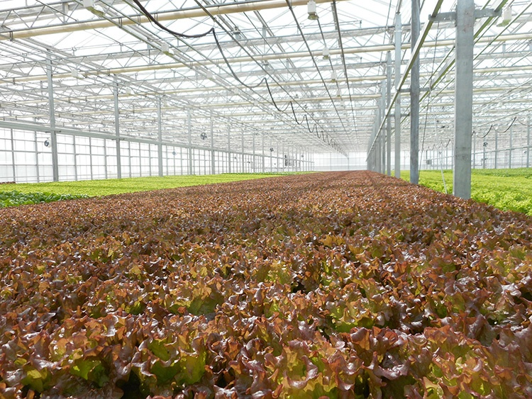 Photo 1, Lettuce overview 1, Neil Mattson, Cornell Univ.