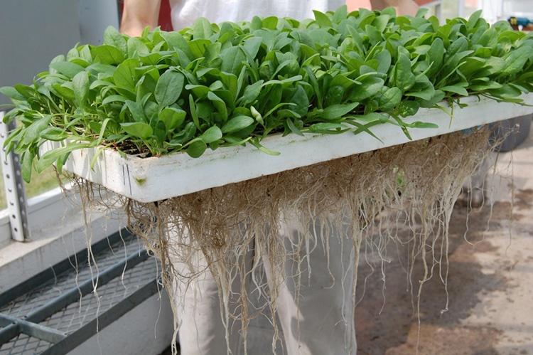 Pythium baby leaf spinach, Neil Mattson, Cornell Univ.