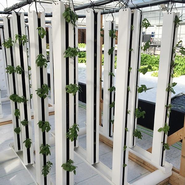 A variety of cut herbs are being grown in vertical grow towers and fertilized with Terra Genesis, a molasses-based organic fertilizer.