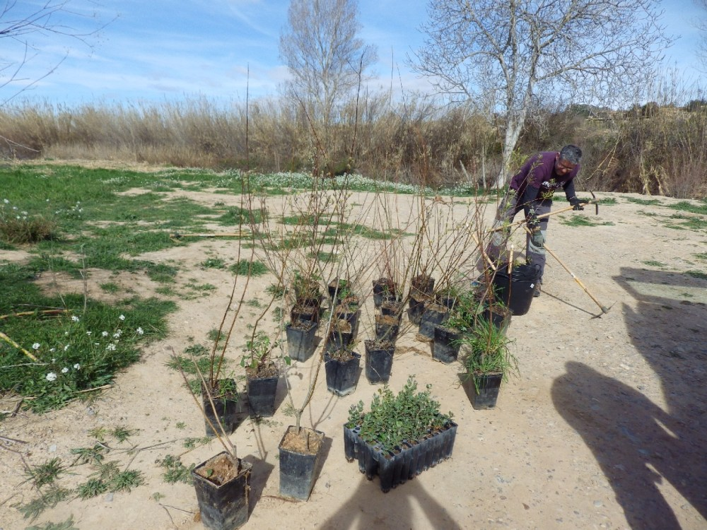 Crònica: Plantàrem més de 100 arbres junt al riu Túria... (2/6)