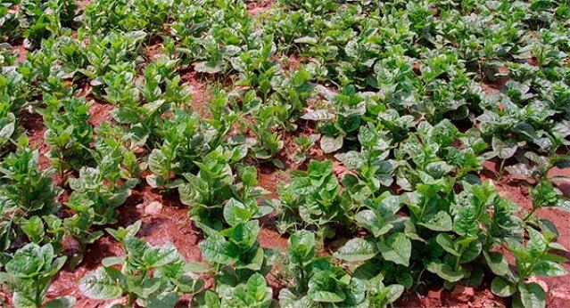 Plantação de bertalha