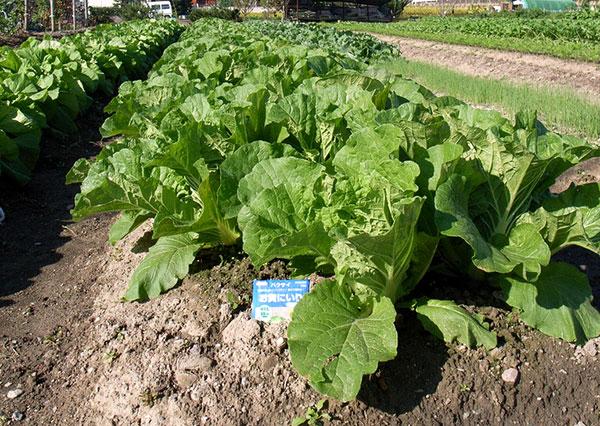 Como plantar couvechinesa  Hortasinfo