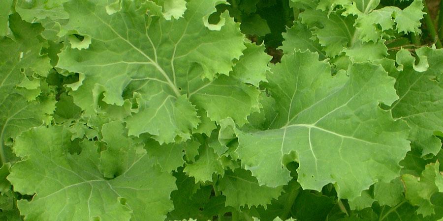 Como plantar couve  Hortasinfo