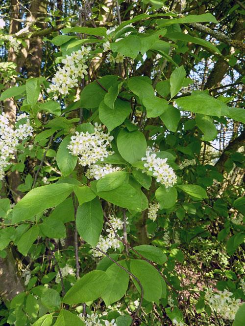 Hortical  merisier  grappes  Prunus padus  kers vogel