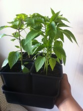 chillies_growing