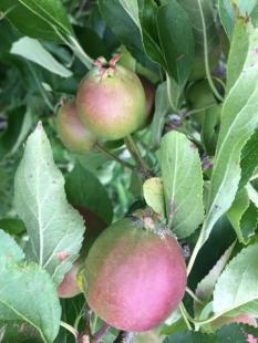 falstalff apples