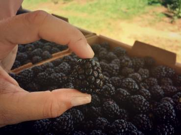Dr. Fernandez and healthy blackberries