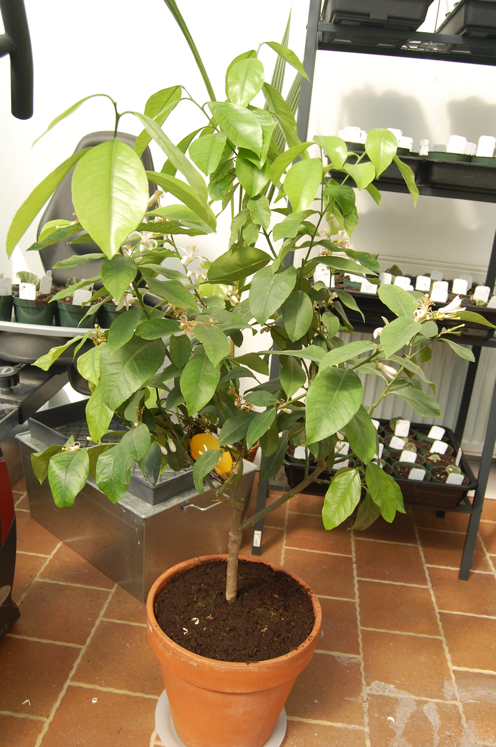 The little lemon tree.  Doesn't look like much but the flowers perfume the entire lower level of the house.