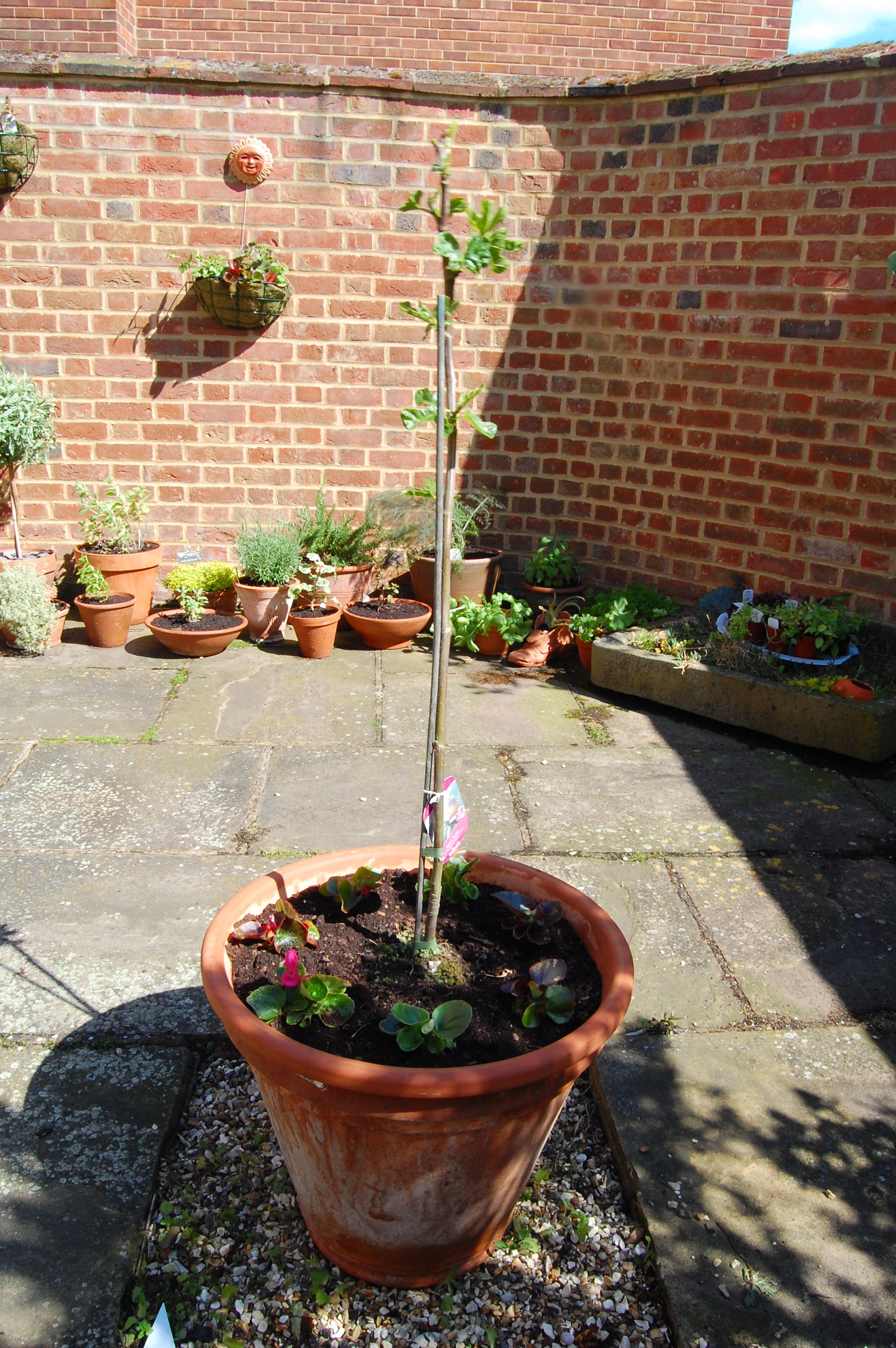 My forlorn looking fig tree in it's new, big pot.