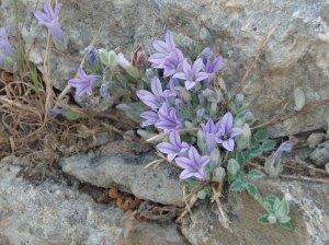 Campanula andrewsii ssp. hirsuta
