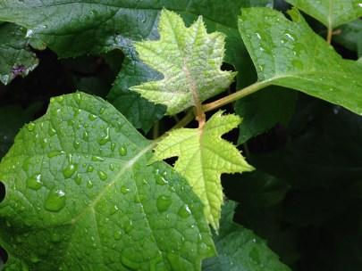 New Oakleaf Hydrangea leaves emerging