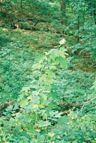 Oakleaf Hydrangea shrub in the wilds of Mississippi