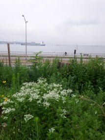 Pycnathemum (Mountain Mint) in the Butterfly Garden overlooking the Narrows in Brooklyn. Pycnathemum is a MUST for anyone wanting to attract pollinators and beneficial insects to their garden. A terrific native perennial. Notice the barge in the background.