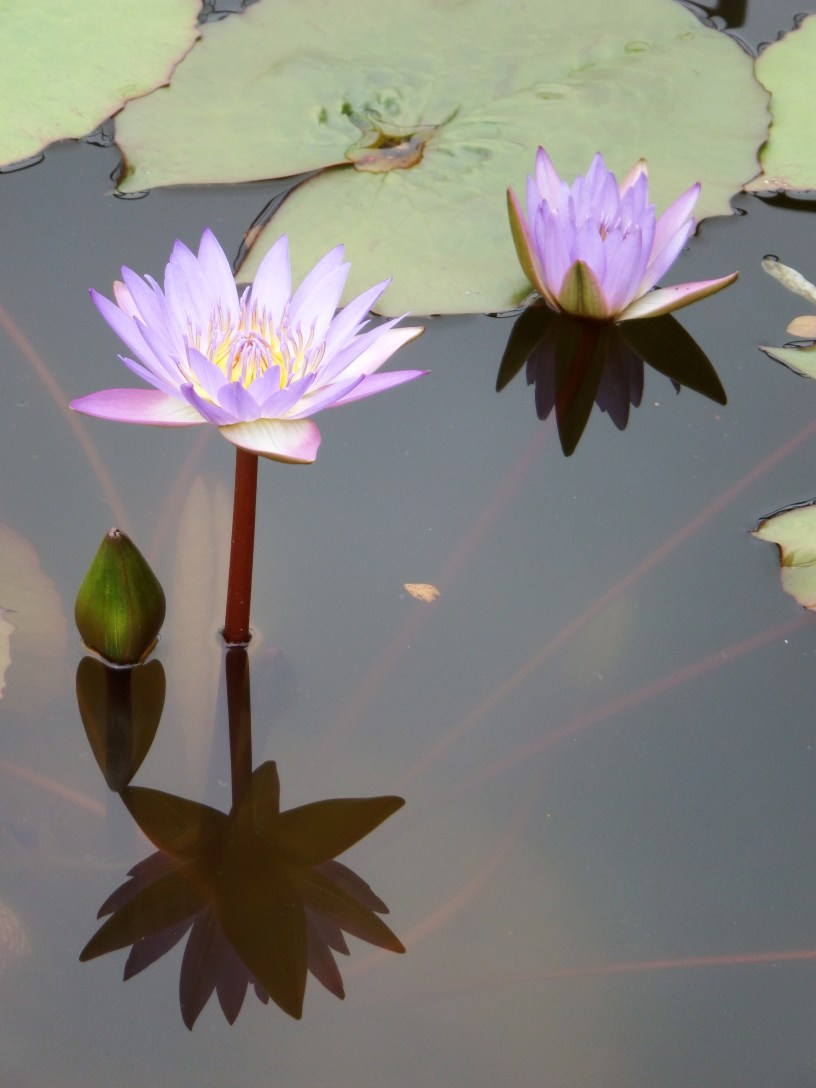 Water Lily in the Lily Pool