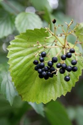 Blue fruits of native Arrowwood Viburnum (Viburnum dentatum)