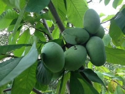Fruits of Pawpaw (Asimina triloba)