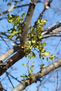 New Mistletoe