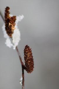 Female catkins of Sweet Birch (Betula lenta) Barnes Arboretum