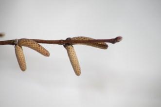 Corylus cornuta - Beaked Hazel Barnes Arboretum