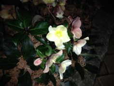 I love these!! They are so gorgeous! Flowers in January, hardy to zones 4-8! Christmas rose - Heleborus niger