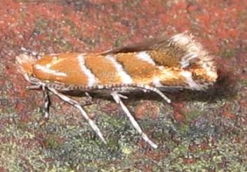 A horse chestnut mining moth