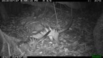 Banded Civet Juvenile and Adult