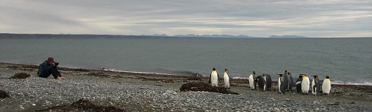 King Penguin Colony at Tierra del Fuego