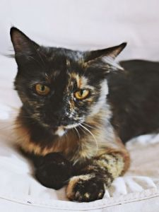 Los gatos infectados pueden tener problemas de piel