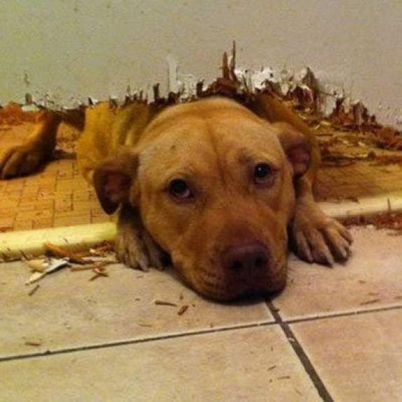 La ansiedad por sepracion hace que los perros rompan cosas