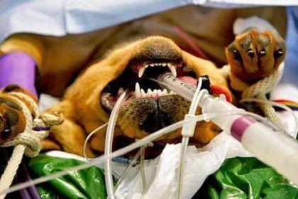 perro anestesiado