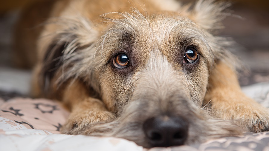 Piometra em cadelas – Sintomas, diagnóstico e tratamento