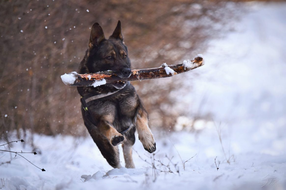 Dark colored German Shepherd running though snow with a stick in his mouth