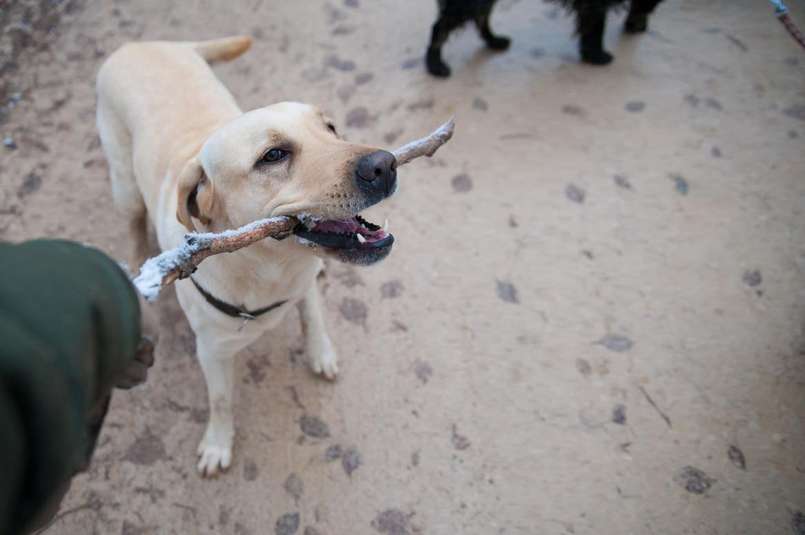 Yellow Labrador with a stick in his mouth