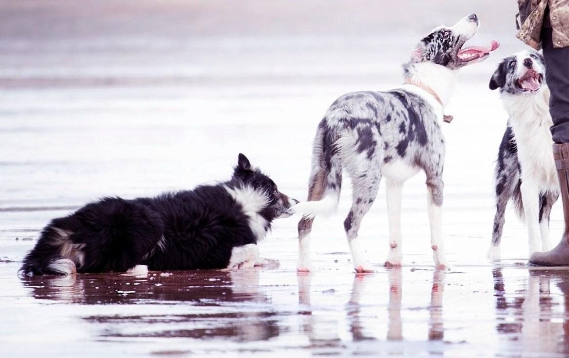 Three Border Collies standing on the beach
