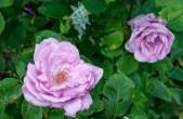 rose 'Mainzer Fastnacht'