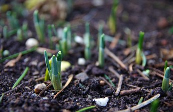 Snowdrops are already showing