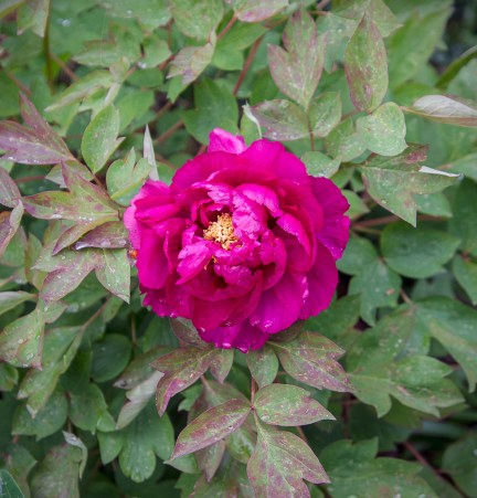 First flower of a new tree peony (from last year).