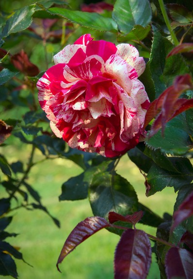 rose 'Broceliande'