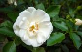 rose 'Schneeflocke'