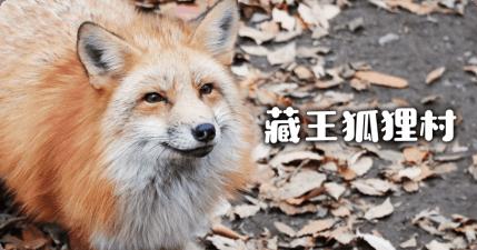 宮城藏王狐狸村~日本宮城旅遊不能錯過的特殊景點
