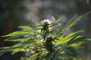 Marijuana Legalization Going Into 2020 2