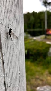 Även myggor trivs i Hotagsbygden. Foto Örjan Rahm