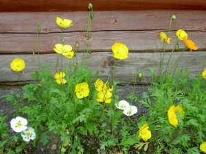 Vallmo i blom. Foto Stilla Dagar