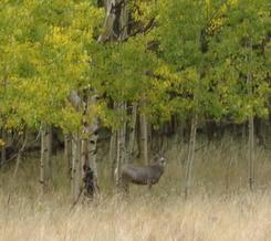 Deer walking through Aspen Trees in Colorado