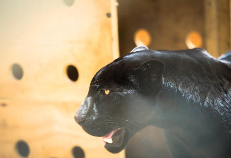 Black Jaguar White Tiger Foundation - bj-8-1024x704