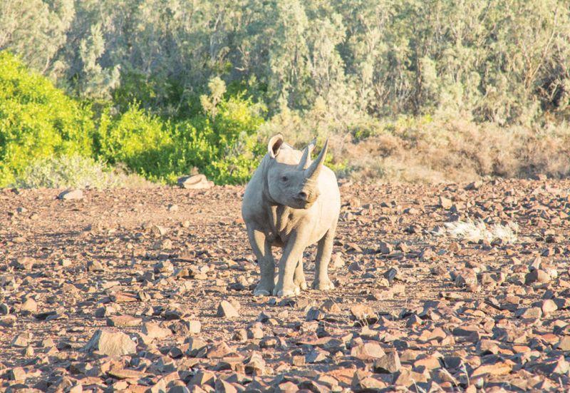 El rinoceronte del desierto - wild_rinoceronte_02
