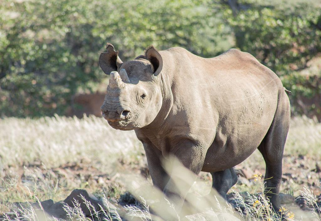 El rinoceronte del desierto - wild_rinoceronte_closeup_PORTADA